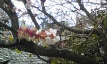 タイ古式マッサージサロン 『Chai(チャイ)』 スタッフ日記-桜