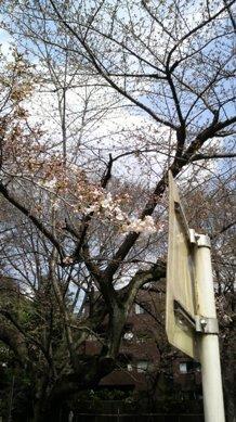 タイ古式マッサージサロン 『Chai(チャイ)』 スタッフ日記-三河台公園の桜