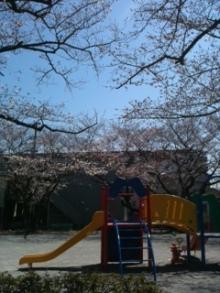 タイ古式マッサージサロン 『Chai(チャイ)』 スタッフ日記-近所の桜