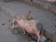タイ古式マッサージサロン 『Chai(チャイ)』 スタッフ日記-豚を小猿