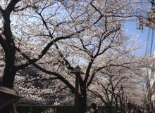 タイ古式マッサージサロン 『Chai(チャイ)』 スタッフ日記-桜2
